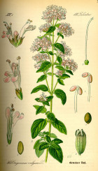 illustration_origanum_vulgare01