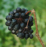 eleutherococcus-fruits