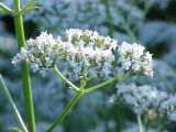 valeriana_officinalis1