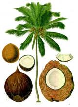 cocos_1