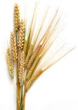 wheat_01