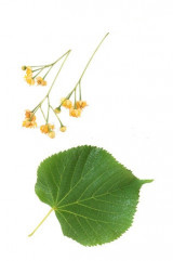 linden-yellow-flowers-on-a-white-background