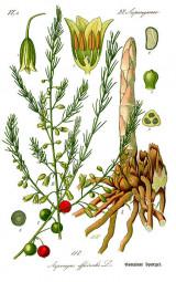 asparagus_officinalis0b