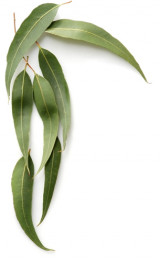 eucalyptus-leaf-bsp