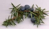 juniper-berries