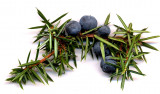 juniper-berries1